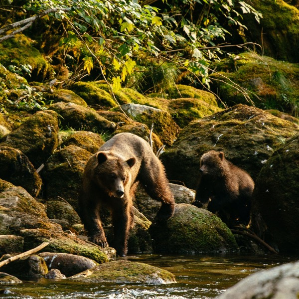 Grizzly Bears | Nimmo Bay