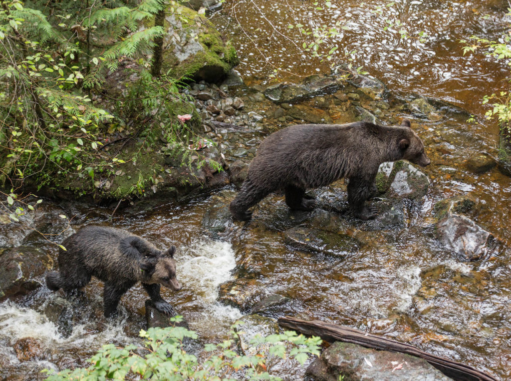 Grizzly Bears | Wildlife Photo