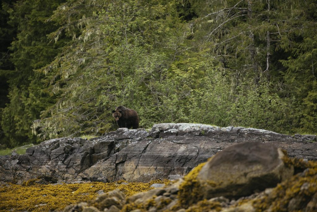 Grizzly bear on shore